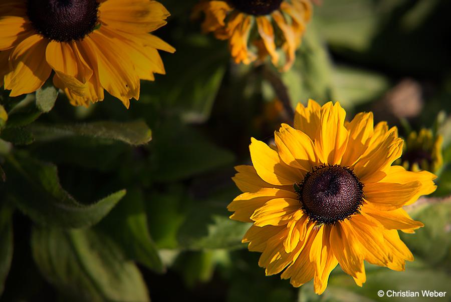 little_sunnflower